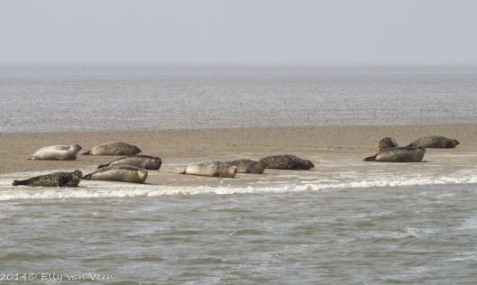 zeehonden op een zandbank