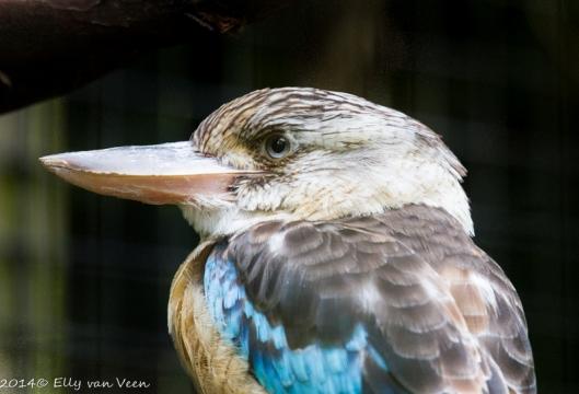 De kookaburra of Lachende Hans
