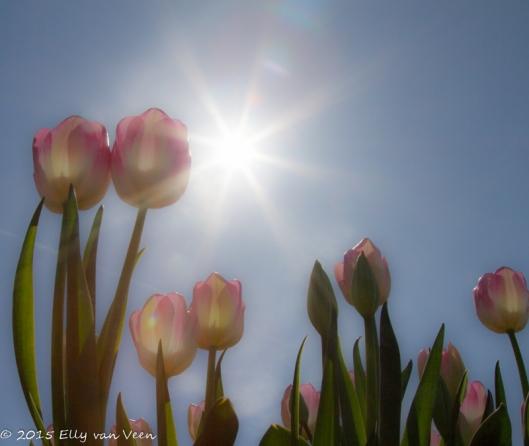 Tegenlicht in een tulpenveld