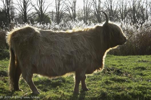 Schotse Hooglander met zg randgloed/ haarlicht