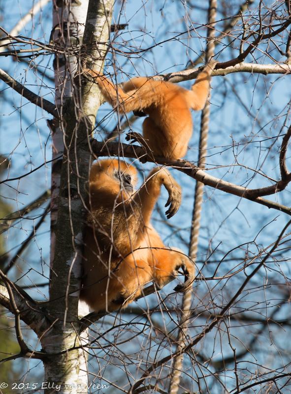 Moeder Gibbon spreekt jong streng toe vanwege apenstreken