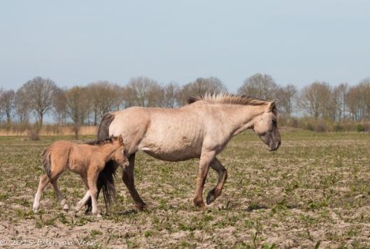 Konikpaard met veulen