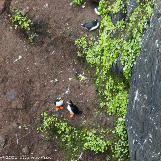 Papegaaiduikertjes op Rathlin Island