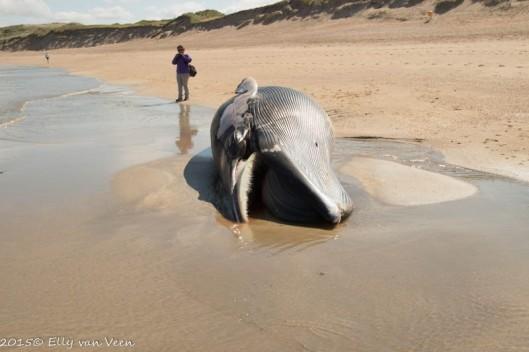 Walvis op het strand