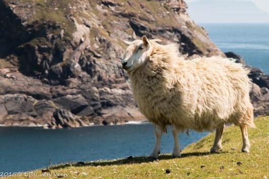 Overal schapen, je kunt er echt niet omheen