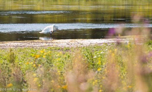 een zwaan poets zijn veren
