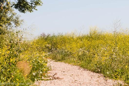 de paden zijn omringd door bloeiend koolzaad