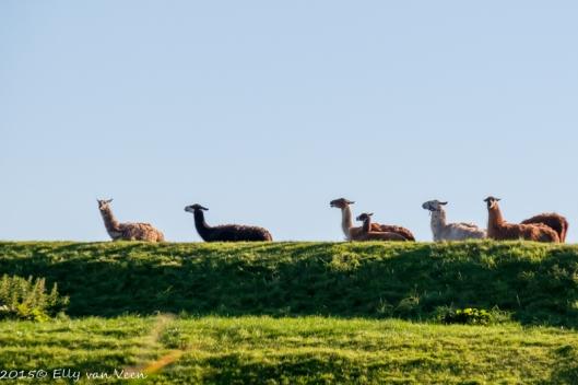 Verkeerde camera-instellingen bij de lama's