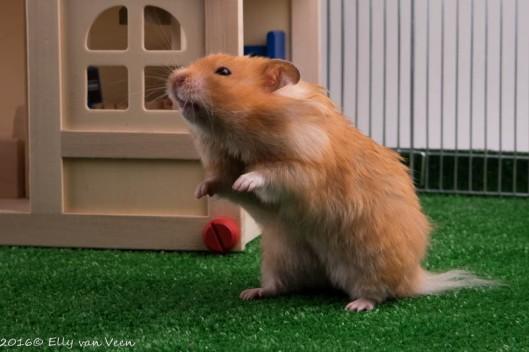 hamster-3860