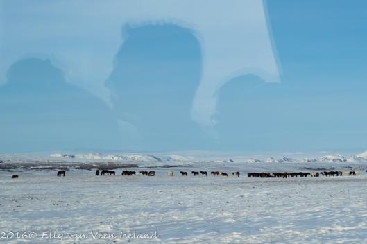 IJslanders in het veld