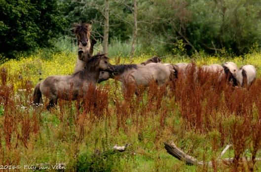 Konikpaard-7745