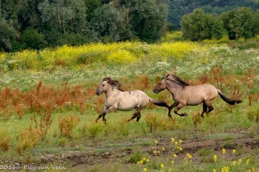 Konikpaard-7841