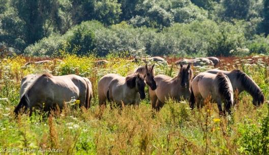 konikpaarden-7665
