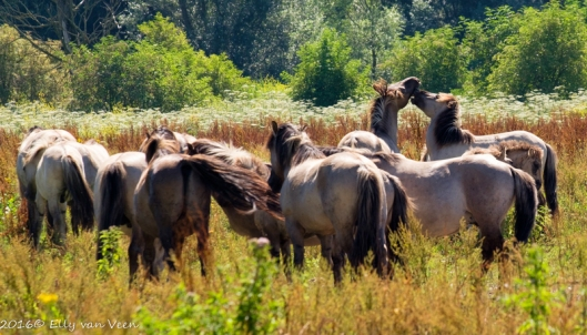 konikpaarden-7668